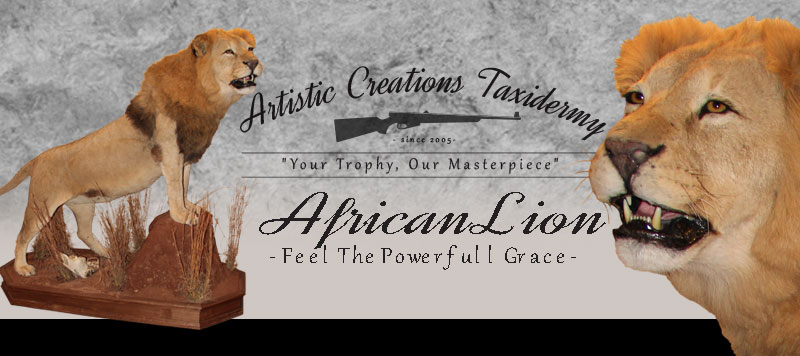 African Lion Mount by Artistic Creations Taxidermy
